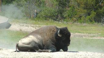 Bison slaughter brings stampede of outrage
