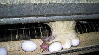 Factory farms produce more than eggs