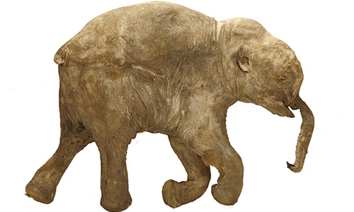 Extinct baby mammoth to make first U.S. visit
