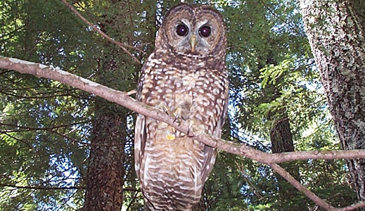 Killing owls to save them: What would Darwin say?