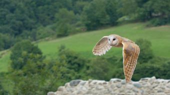 Barn owls face armageddon