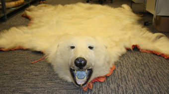 Activists call for end to polar bear killings