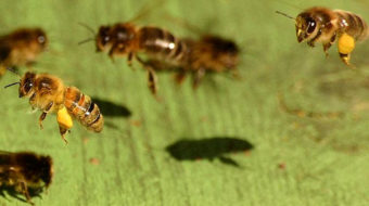 Have cell phones made bees buzz off?