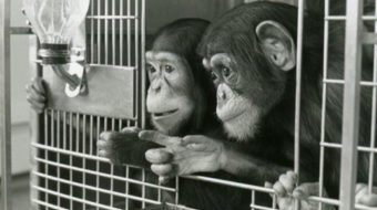 Hundreds of chimps to be moved from labs to sanctuary