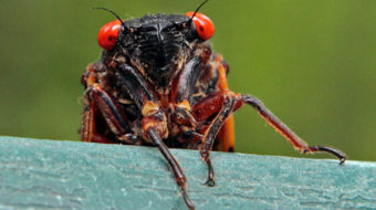 East Coast to be overrun by billions of cicadas
