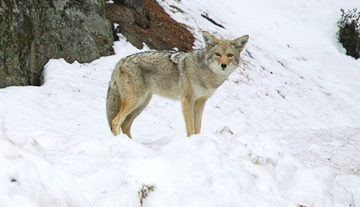 Coyotes in the city: lessons for 2011