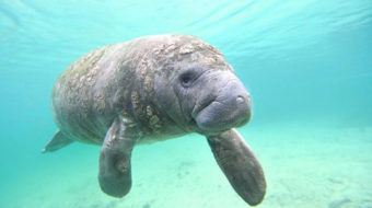 This month in history: Are you aware of manatees?