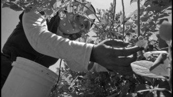Farmworker rebellion spreads along almost the entire Pacific coast