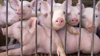 Factory farming: Torture with a side of pollution