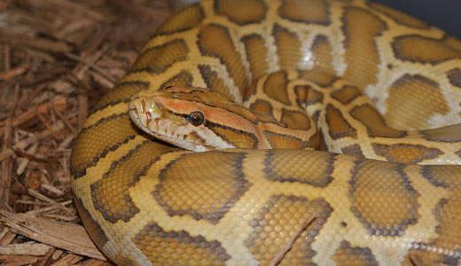 Pythons invading Everglades, hunting animals to extinction