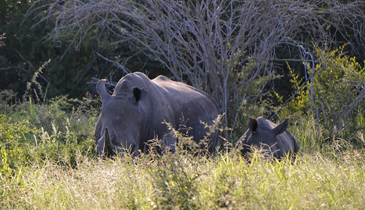 Western black rhino declared extinct