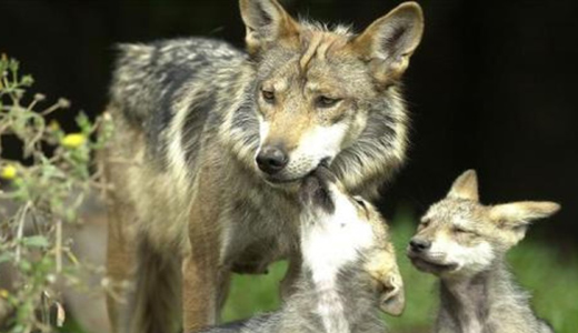"From Idaho to Utah, ""wolf massacre"" continues"