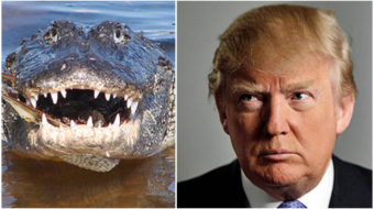 Comparing Trump administration to alligators is insult to alligators