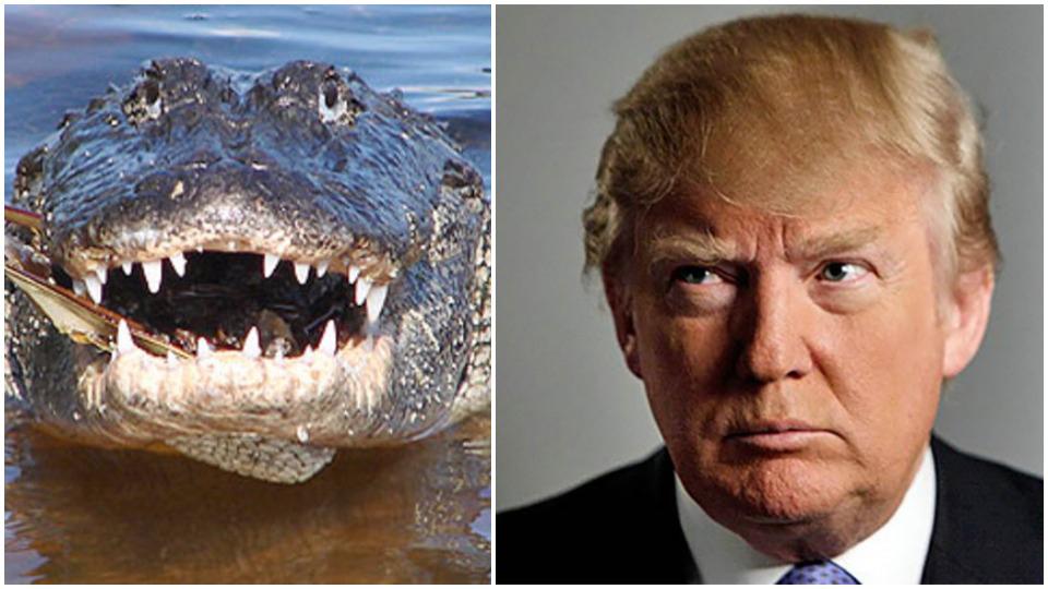 Comparing Trump administration to alligators is insult to alligators