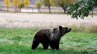 'Not in Our Name': Tribal voices in defense of grizzly