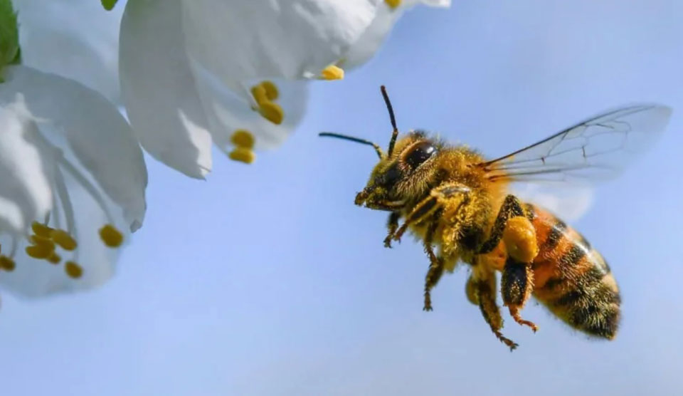 Why is Cuba having the healthiest bees?