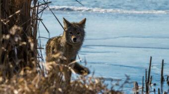 Trump's USDA sued over mass killing of native wildlife