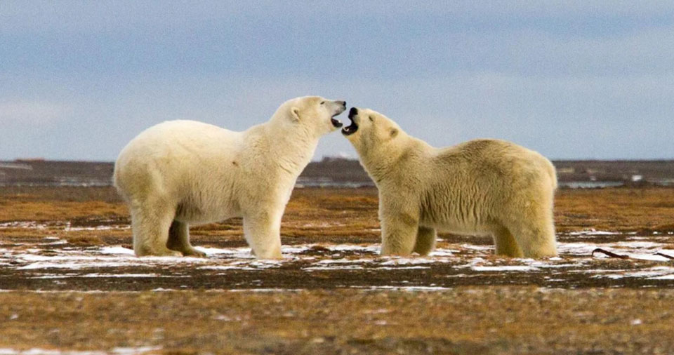 Court rejects Trump's drilling proposal in major victory for polar bears and climate