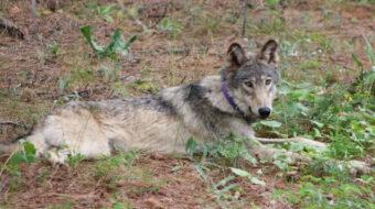 Oregon wolf makes historic journey to California, raising conservation hopes