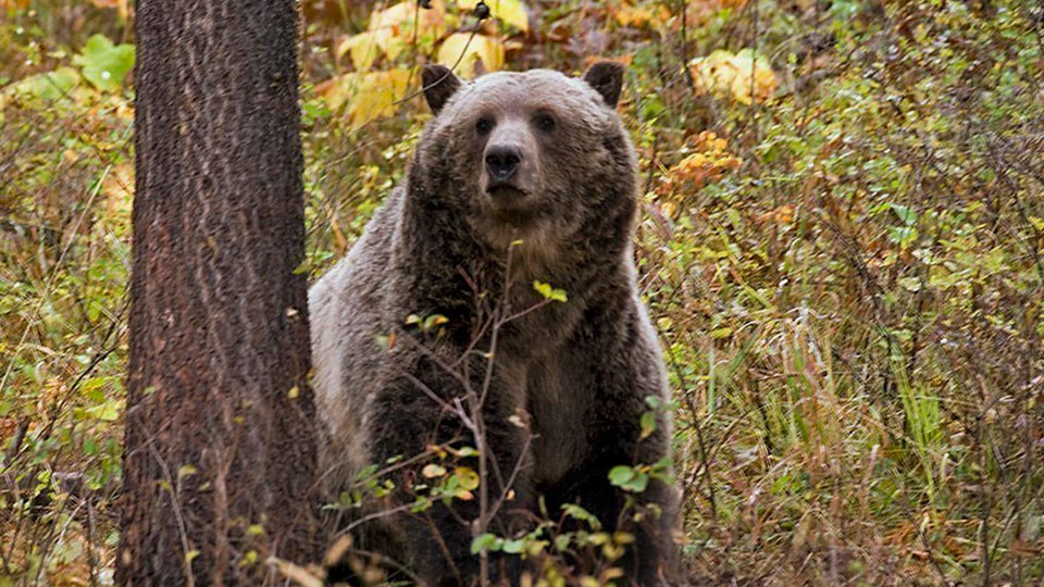 New Montana bills 'declare war on wolves, bears, other carnivores' say wildlife supporters