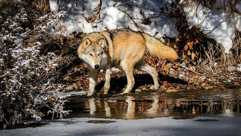 Detengamos la matanza de los lobos